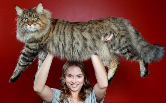Natalie-Chettle-lifts-her-mothers-Maine-coon-cat-Rupert-over-her-head.-Nearly-three-years-old-Rupert-is-already-three-times-bigger-than-the-average-domestic-cat-and-is-expected-to-gain-another-5kg-in-the-next-few-years..